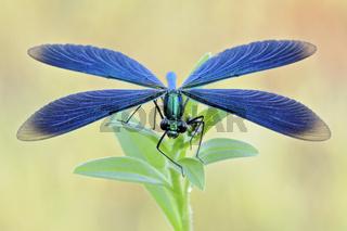 Helikopter... Blauflügel-Prachtlibelle *Calopteryx virgo*