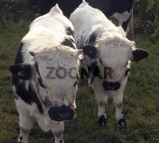 Pustertaler, Schecken, Rind
