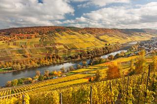 Tal der Mosel mitWeinbergen im Herbstlaub bei Reil