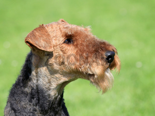 Airedale Terrier  in the spring garden