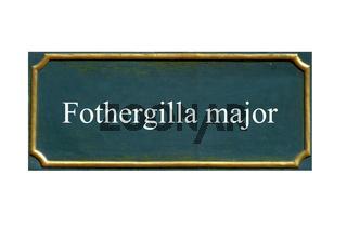 Schild Fothergilla major, Grosser Federbuschstrauch