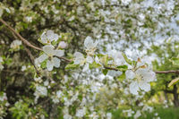 Apple tree flowers and tree
