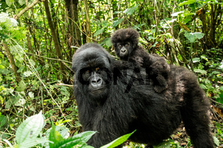 Mother Mountain gorilla with a baby Gorilla in the Virunga National Park