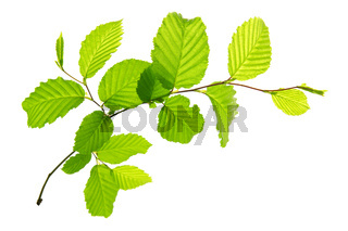 Fresh Green Leaves isolated.