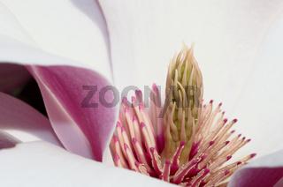 Magnolienbluete