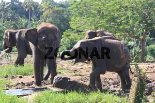 Elefanten in Pinnawala in Sri Lanka