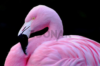 Chilean Flamingo Profile