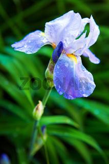Blue Iris flower in the garden.