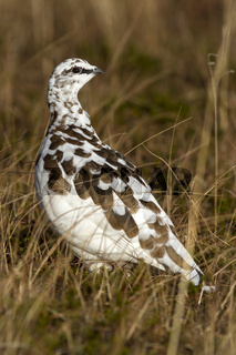Rock Ptarmigan in winter plumage autumn day in the tundra