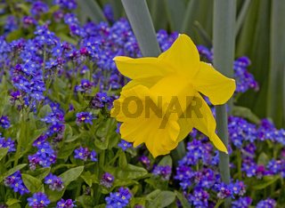Osterglocke Narcissus pseudonarcissus mit Vergissmeinnicht Myosotis