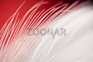 Extreme closeup of white feather on red