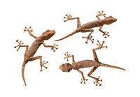Three geckos cutout