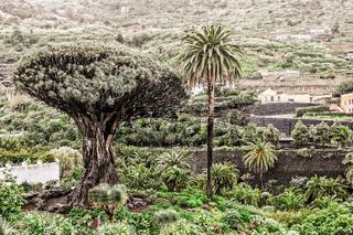 Teneriffa, Landschaft mit Drachenbaum und Palmen