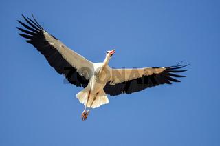 Storch im Flug / Rust am See / Burgenland