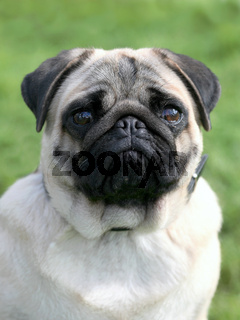 Pug dog in the garden