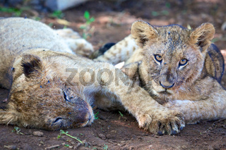 two lions cub having rest