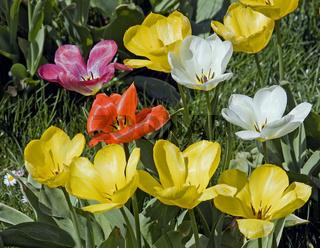 Tulpenbeet Tulipa