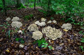 Pilze im Laubwald, Eichhase, Polyporus umbellatus