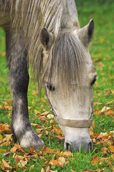 Welsh-Pony
