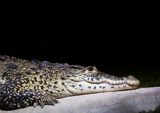 A crocodile portrait on black