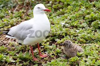 Mother and Baby Seagulls