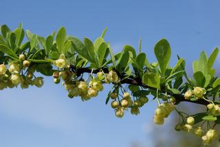 Berberis thunbergii, Berberitze, barberry