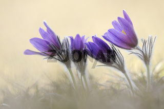 der Frühling ist da... Kuhschellen  *Pulsatilla vulgaris*