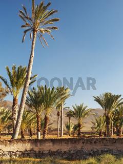 Landschaft auf Fuerteventura mit Palmen