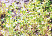 Blurred view of camomiles