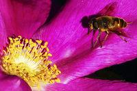 rosa Blume mit gelben Staubgefaessen und Biene