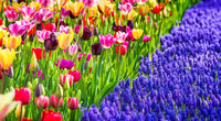 A Garden With Colorful Tulips And Purple Muscari Armeniacum Flowers