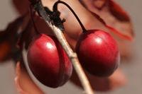 Zierpflaumen.Prunus cerasifera