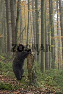aufgerichtet... Europäischer Braunbär *Ursus arctos*