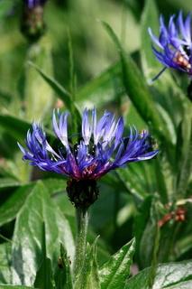Flockenblume, blau, im Beet