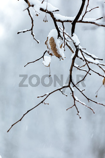 dry leaf on tree branch in winter