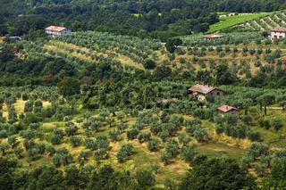 Olive orchard in Monteleone d'Orvieto - Umbria