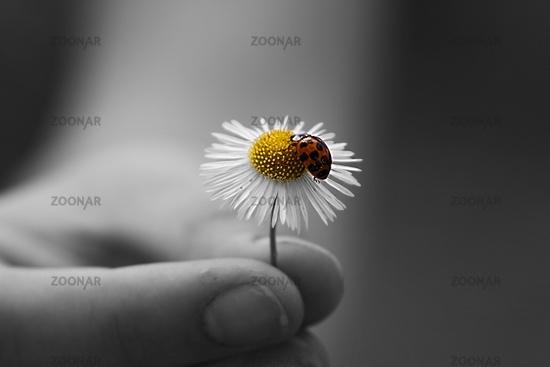 Marienkäfer auf einem Gänseblümchen