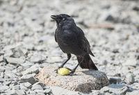 Jackdaw Bird Feeding