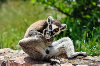 Ring-tailed Lemur licks his leg