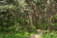 footpath and pine forest