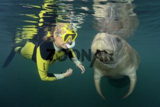 Trichechus manatus latirostris, Florida Seekuh und Schnorchler, Snorkeling with West Indian Manatee, Florida, USA