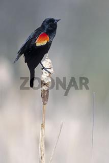Rotschulterstaerling maennlicher Altvogel auf seiner Singwarte - (Rotfluegel-Schwarzstaerling) / Red-winged Blackbird adult male on his song post / Agelaius phoeniceus