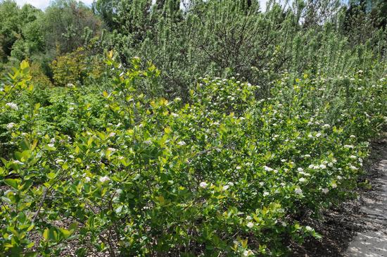 Aronia melanocarpa, Apfelbeere, Chokeberry