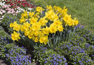 Osterglocken Narcissus pseudonarcissus mit Vergissmeinnicht Myosotis