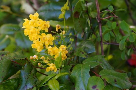 Gewöhnliche Mahonie oder Stechdornblättrige Mahonie (Mahonia aquifolium)