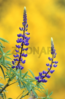 Vielblaettrige Lupine wurde erstmals fuer Deutschland 1890 in Bayern nachgewiesen - (Stauden-Lupine) / Large-leaved Lupin arrived in Britain from North America in the 1820s - (Big-leaved Lupin) / Lupinus polyphyllus