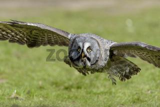 Bartkauz, Strix nebulosa, Great gray owl