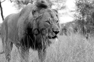 lion in the kruger national park south africa