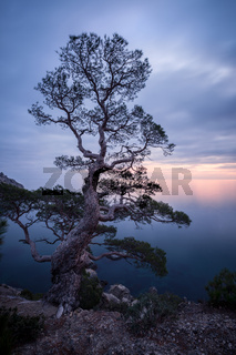 Old tree above the Black sea