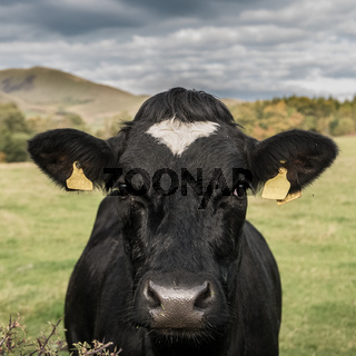 Farming Image Of A Dairy Cow